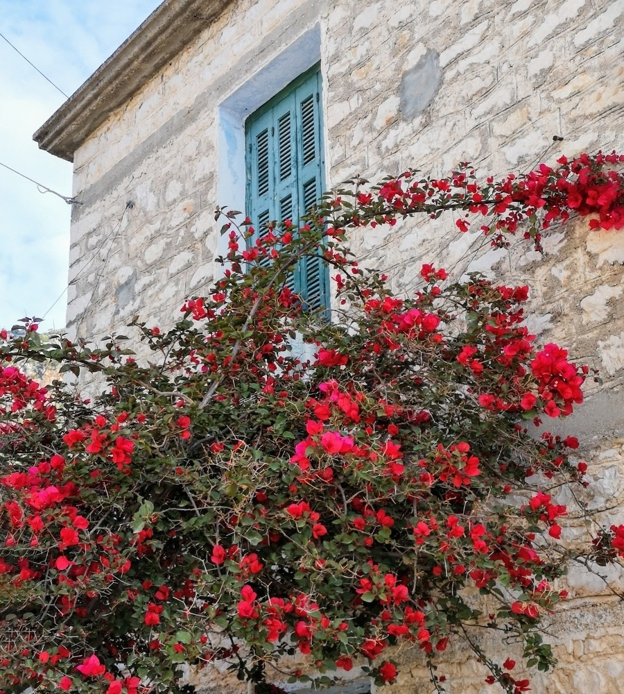kalamos_rose_wall