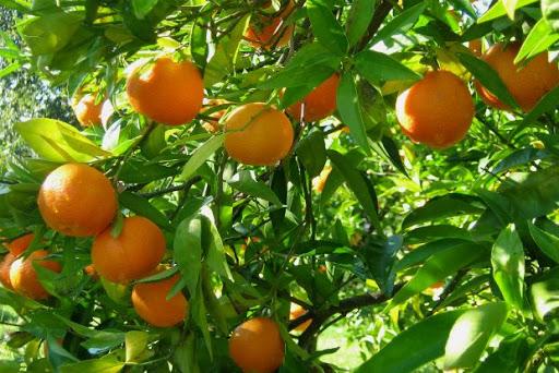 orangen_arta_epirus